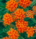 Asclepias tubersora, Butterfly Weed