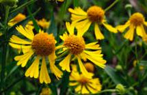 Helenium autumnale, Sneezeweed