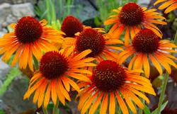 Rudbeckis fulgida, Orange Coneflower