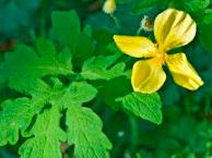 Stylophorum diphyllum, Celadine Poppy